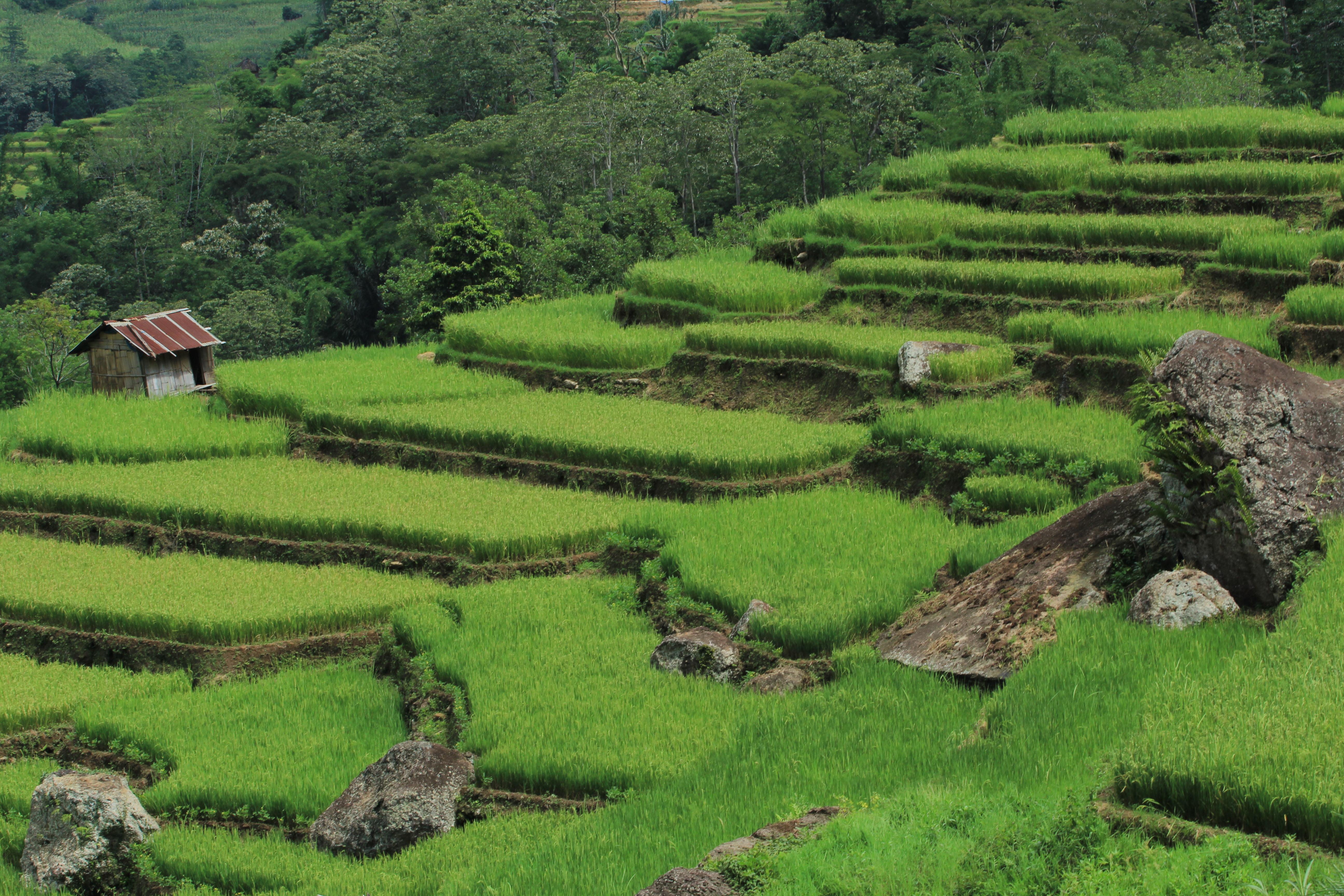 Watu Alo Terrace Ricefield